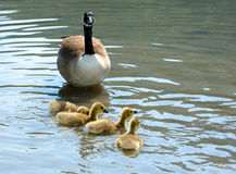 Goose family Stock Photos