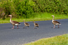 Goose family Stock Image