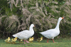 The goose family Stock Image