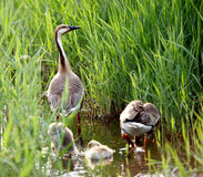 Goose family. A view of duck family, father, mother and children, in green grass royalty free stock photography
