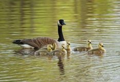 Goose Family Stock Photography