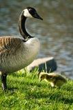 Goose family Royalty Free Stock Photos