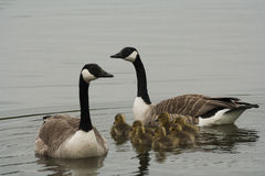 Goose family Royalty Free Stock Image