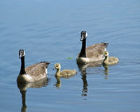 Goose Family. A family of Canada Geese (Branta canadensis) swimming together on a pond Royalty Free Stock Photo