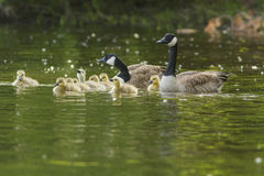Goose family Royalty Free Stock Photo
