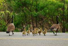 Goose family cross road Royalty Free Stock Photo