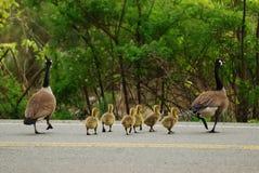 Goose Family Cross Road Royalty Free Stock Photo