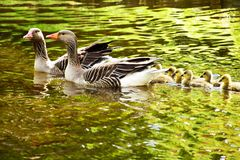 Goose family in the water. Goose family, father and mother with babies swimming in the water Royalty Free Stock Photography