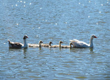 Goose family floats on the brilliant lake. Stock Photos