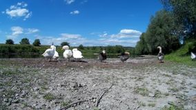 Goose Family Frolicking on river bank. Zbruch river, Podilski, Tovtry, Podolian, Avratinian Upland Dniester Khmelnytskyi Ukraine june 2017 stock footage