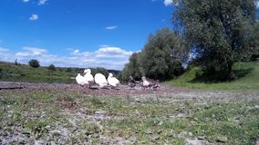 Goose Family Frolicking on river bank 3. Goose Family Frolicking on river bank Zbruch river, Podilski, Tovtry, Podolian, Avratinian Upland Dniester Khmelnytskyi stock footage