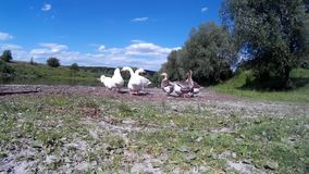 Goose Family Frolicking on river bank 2 stock video