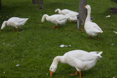 Goose family. On gras outside Royalty Free Stock Image