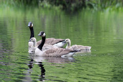 Goose Family Group Stock Photo