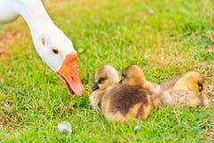 Goose family Stock Image