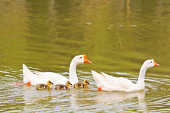 Goose family Royalty Free Stock Images