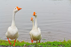 Goose family Stock Photos