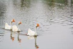 Goose family Royalty Free Stock Photo