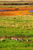 Goose family near Hvitarnes hut, Iceland royalty free stock photography