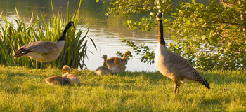 Goose family near river Stock Image