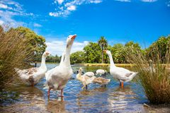 Goose family in pond on suny day. Royalty Free Stock Images