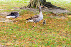 Goose family Stock Photo