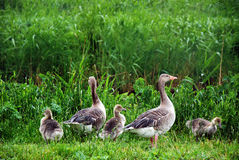 Goose family. Standing on the grass Stock Image