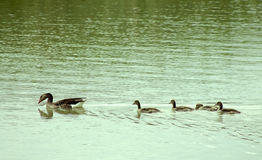 Goose family. Goose swimming on the lake with small goslings Royalty Free Stock Images