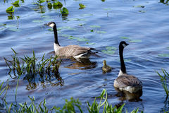Goose family swimming Stock Photos