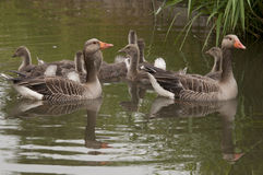 Goose family in water Stock Image