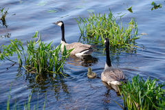Goose family in the water Stock Photography