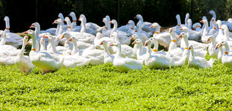 Goose farm Stock Images