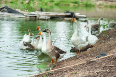 Goose farm Royalty Free Stock Images