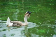 Goose farm Stock Photos