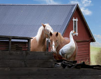 Goose on farm Stock Photography