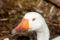 The goose on the farm not far from city center. The farm with birds, bunnies and forses not far from the city center Royalty Free Stock Images