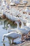 Goose Farm Stock Images