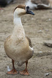 Goose on the farm Royalty Free Stock Images