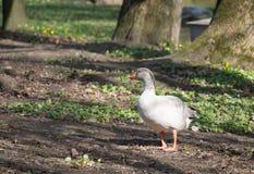 Goose at farm Stock Image