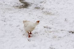 Goose in the winter. Goose at the farm in the winter season Stock Image
