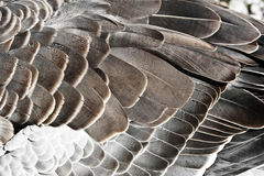 Goose feather. Detail of goose feather close up Royalty Free Stock Photos