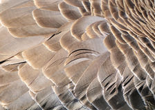 Goose Feathers Stock Images