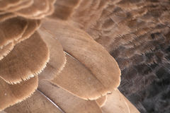 Goose Feathers Royalty Free Stock Images