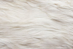 Goose feathers Stock Photos