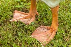 Goose Feet Stock Image