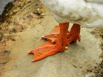 Goose feet Royalty Free Stock Photos