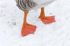 Goose feet Royalty Free Stock Photography