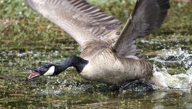 Angry mother Canada Goose charging, Walton County Georgia stock images