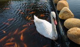 Goose and fish. Goose and fish swimming in a small stream Royalty Free Stock Photography