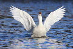 Goose in a Flap Stock Photos